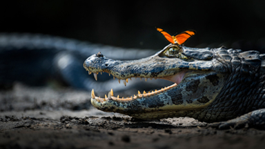 Close Encounter: Caiman Caught By Surprise As Butterfly Lands On Its Nose