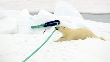 Playful Polar Bear: One of Earth's deadliest animals shows its softer side