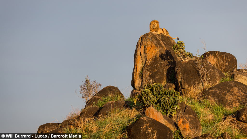 Ruler Of Pride Rock Real Life Lion King Recreates Famous