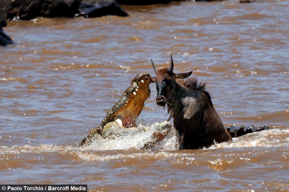 Wildebeest Crocodile