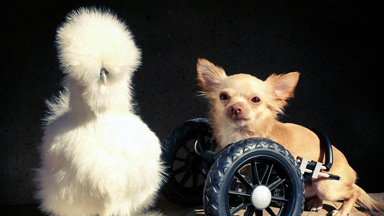 Wheelchair Dog And Silkie Chicken Are The Cutest Friends