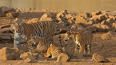 Tigress Teaching Cubs To Hunt