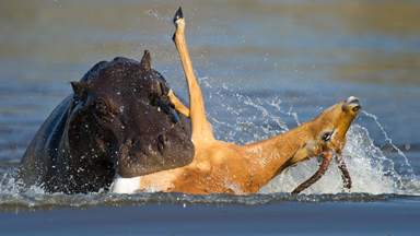 Impala Attacked By Hippos After Fleeing Wild Dogs