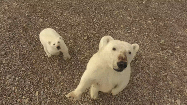 Protective mama polar bear gets a little too close to a drone