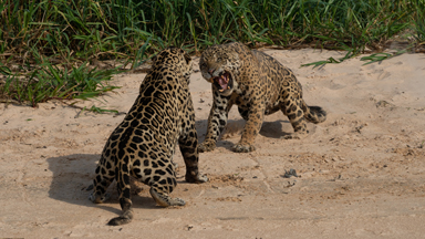 Male Jaguars Fight Hard For Territory