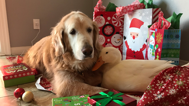 Best Friends Dog And Duck Celebrate Christmas