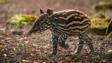 Solo Adventure: Malayan tapir calf takes her first steps outside Chester Zoo