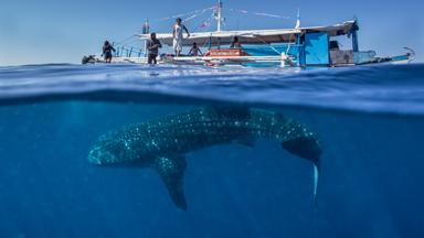What Lies Beneath: Split Shots Of Whale Sharks Swimming Below Boats