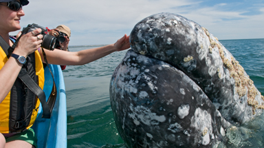 Cheeky grey whale calves greet tourists