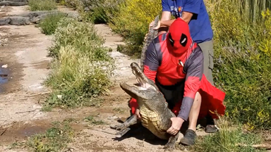 Alligator Wrestler Dressed As Deadpool Saves A Wounded Gator