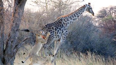 It's A Tall Order! Lone Lioness Struggles to Kill Giraffe