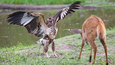 Face Off: Adolescent Eagle Chases Away Deer