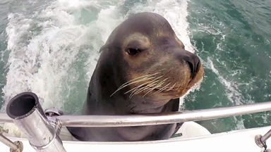 Dinner Time: Hungry Sea Lion Boards Boat For Fish Supper