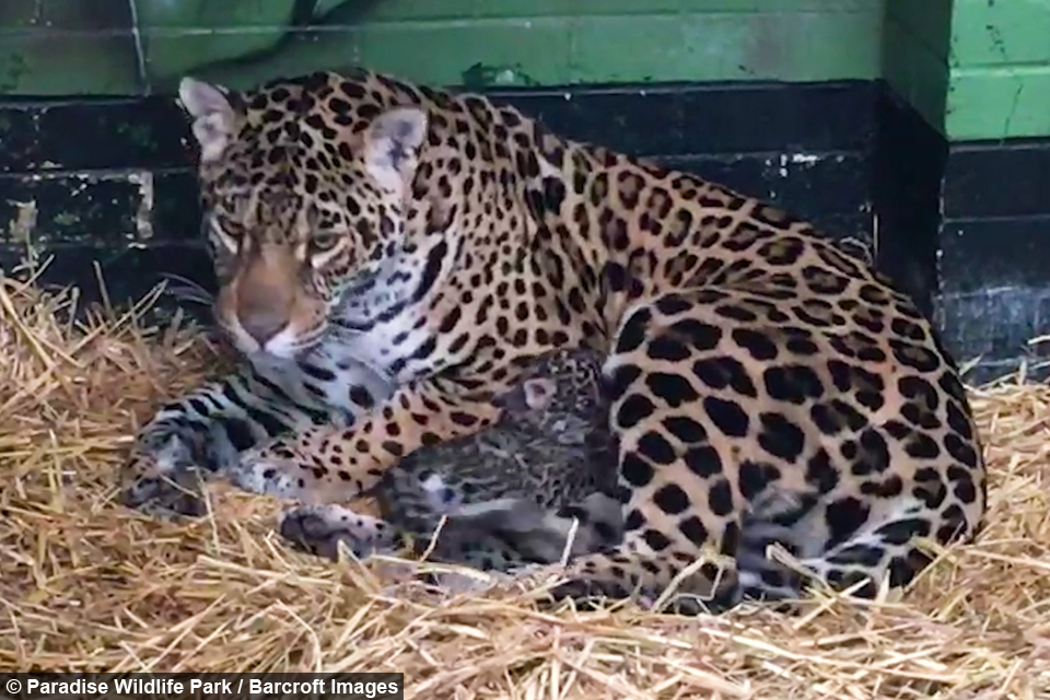 Cute Jaguar Pictures Impremedia Net