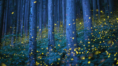 Enchanted Forest: Fireflies Create Magical Spectacle In Japan