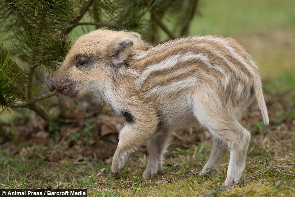 a boar able orphaned wild boar piglets make animal friends