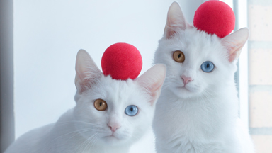 Eye-catching: Twin cats with mismatched eyes