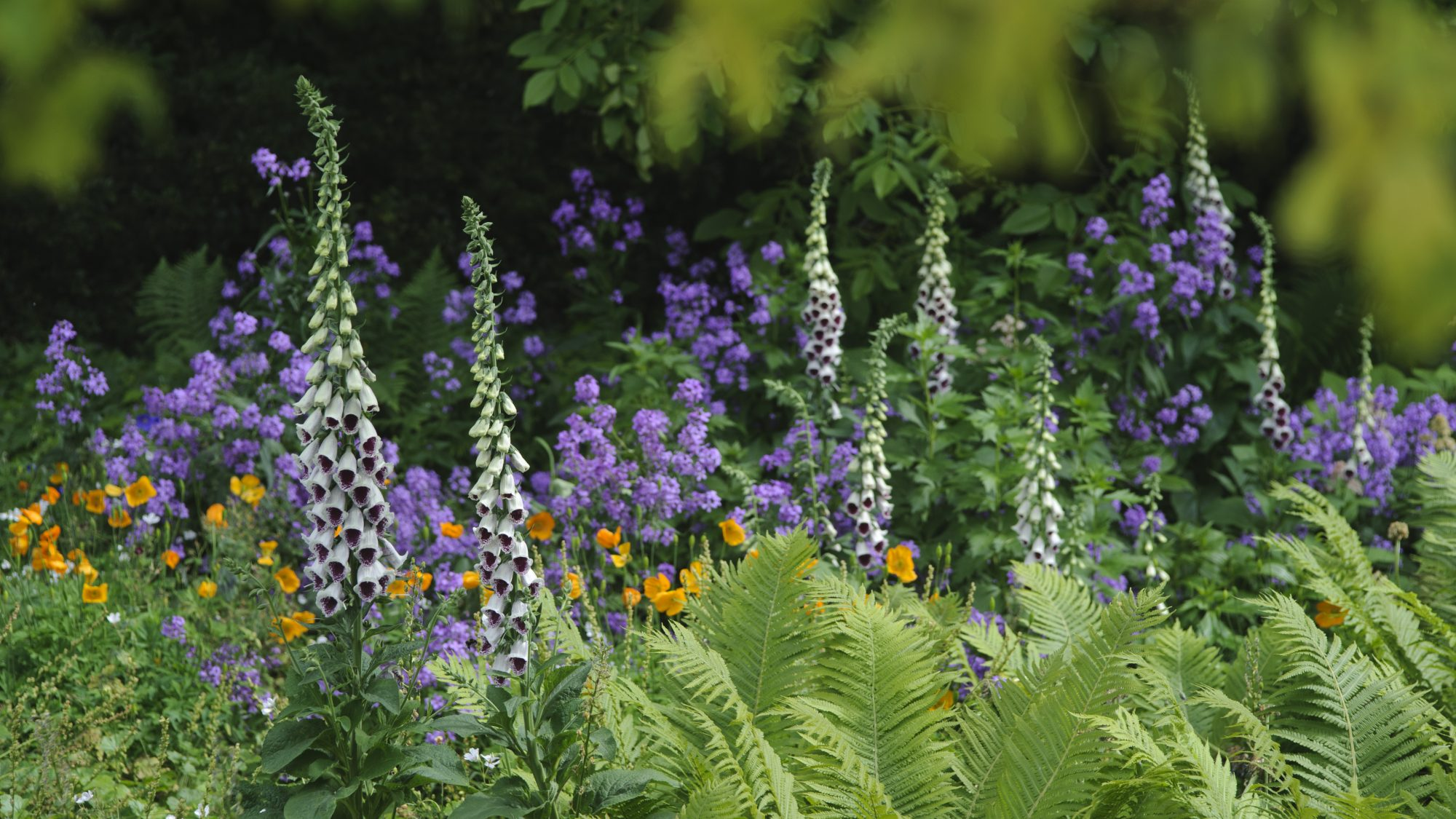 Digitalis interplanted with Polypodiopsida, Escholzia californica 'Orange King' and Hesperis matronalis in the Woodland garden.