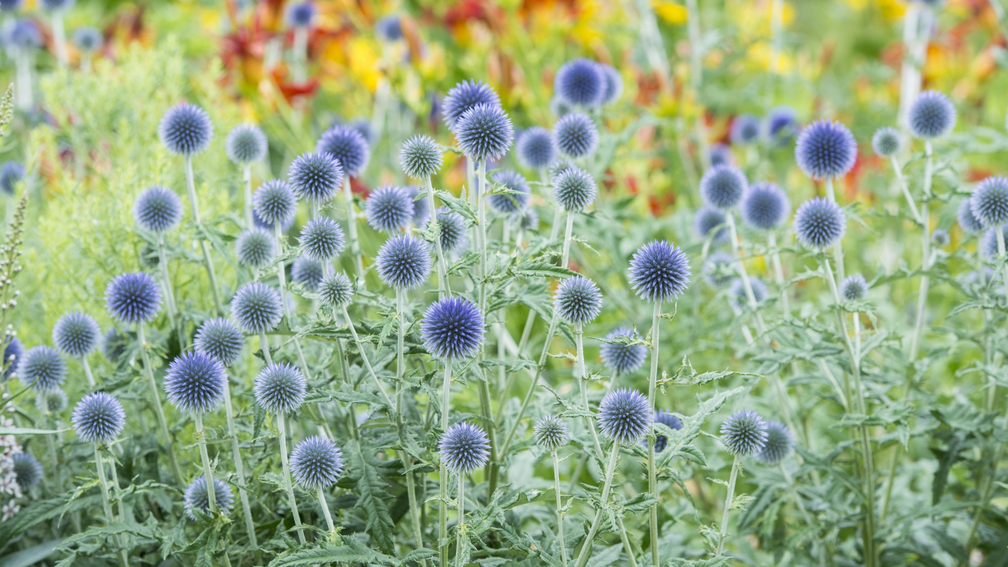 Eryngium in the dry meadow.