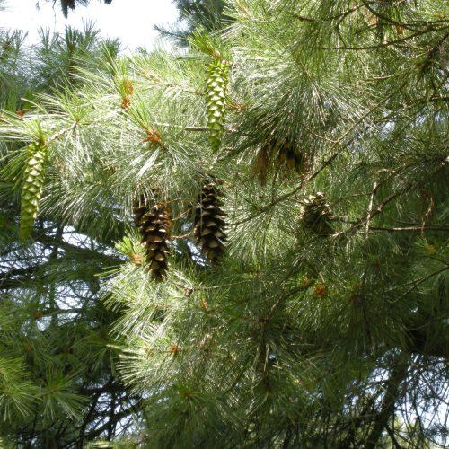 Holford Pine