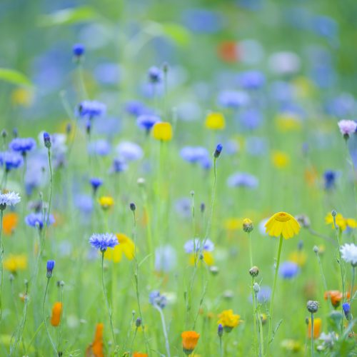 Growing Annual Meadows
