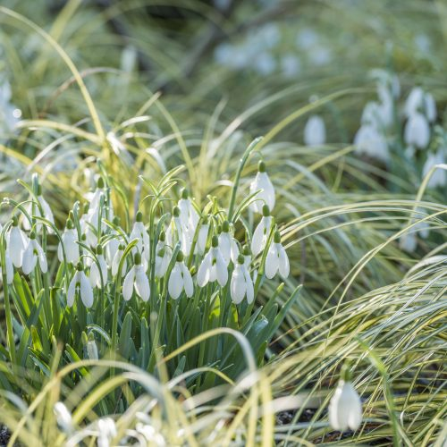 A guide to snowdrops at CUBG