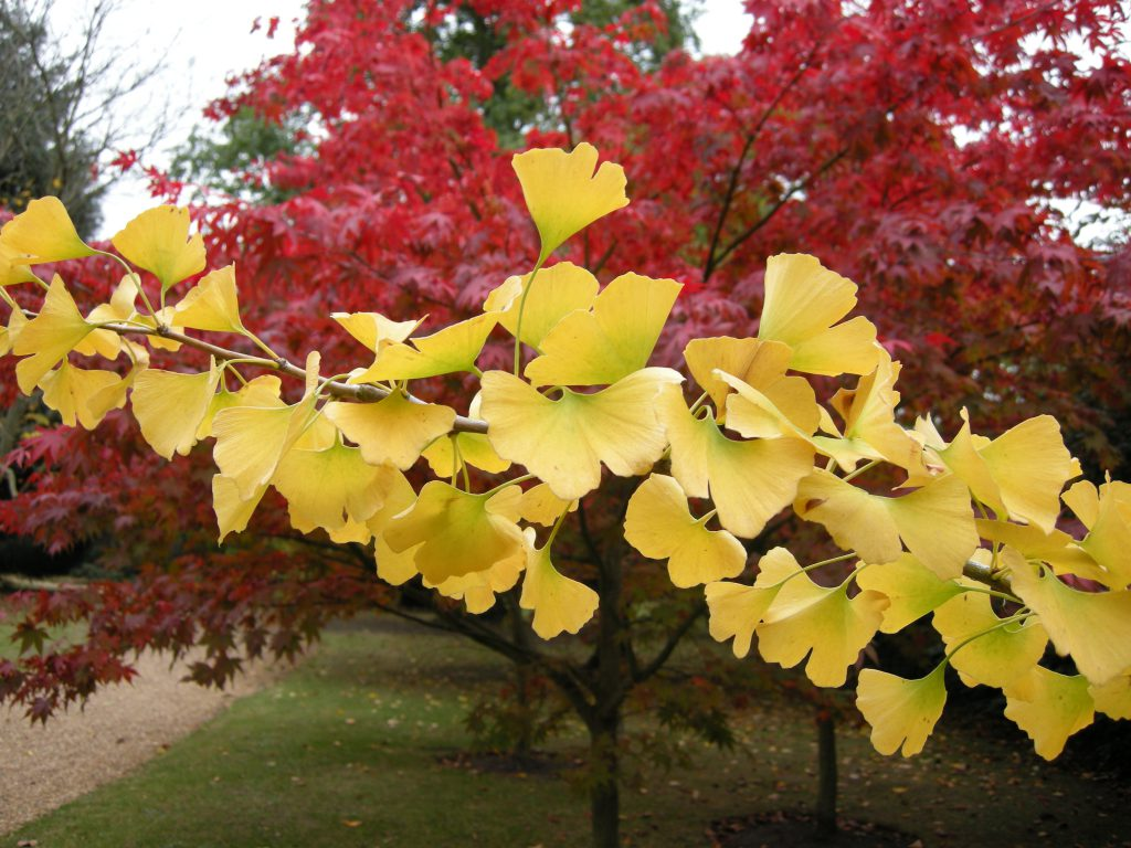 The butter yellow of the Ginkgo biloba provides a strong contrast against the reds of the Acer palmatum 'Osakazuki'.