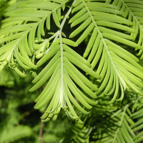 Wollemia nobilis, What is a Champion Tree?