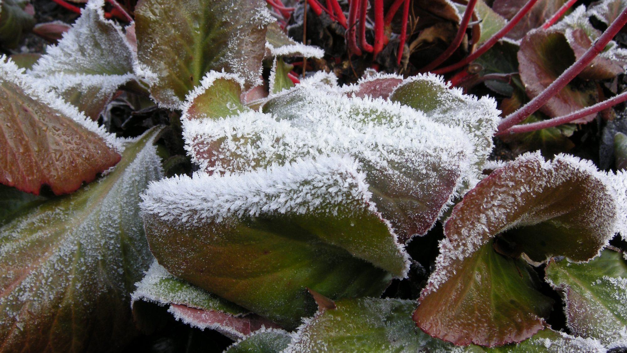 'Cornus alba 'Sibirica' underplanted with Bergenia 'Bressingham Rubyn' in the Winter garden on a frosty day.