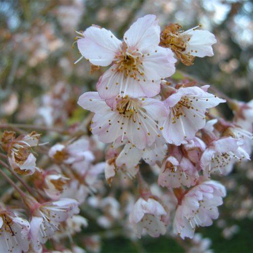 Prunus pseudocerasus 'Cantabrigiensis'