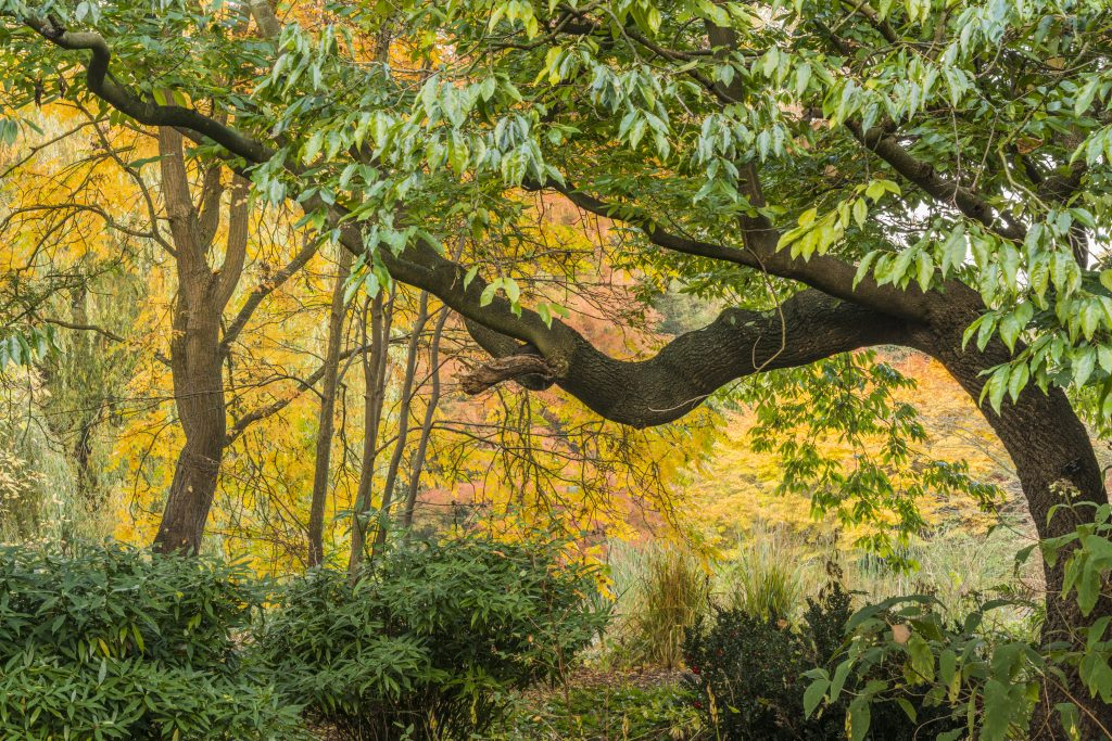 View of old tree, with yellow autumn leaves behind.