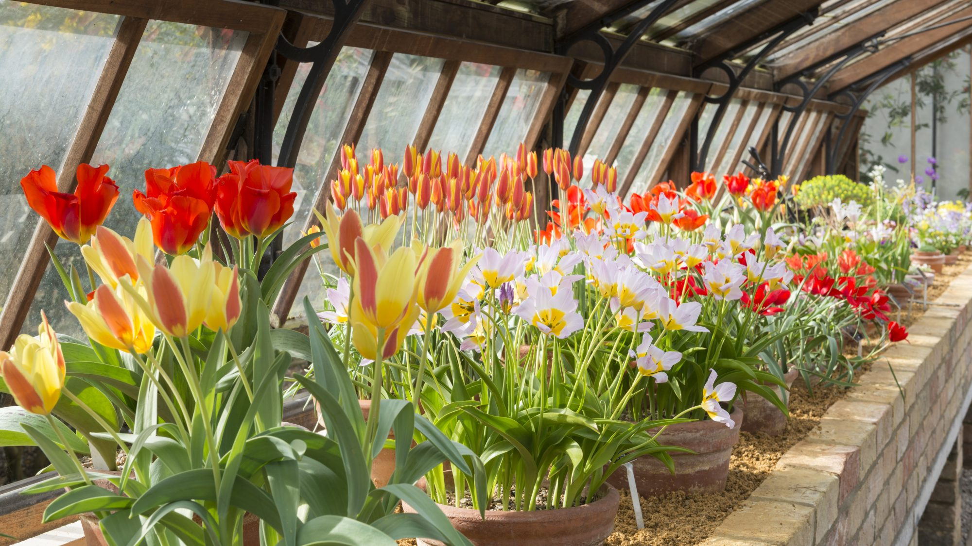 National Collections of Tulipa, plunged in sand in the Mountains House.