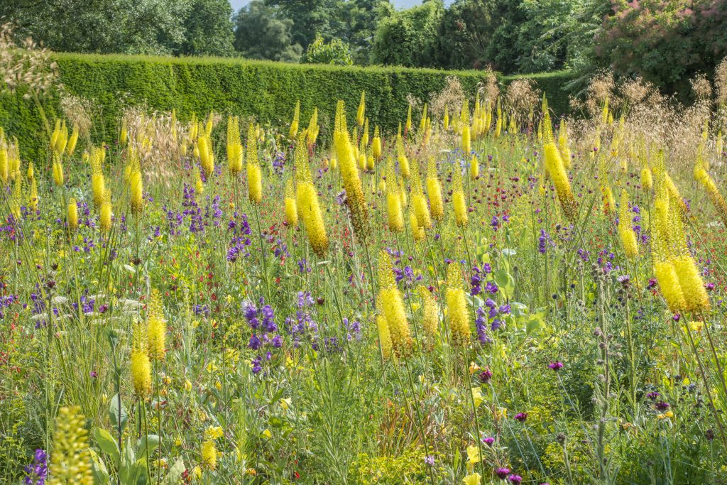 James Hitchmough, The Dry Meadow at Cory Lodge with yellow and purple blooms.