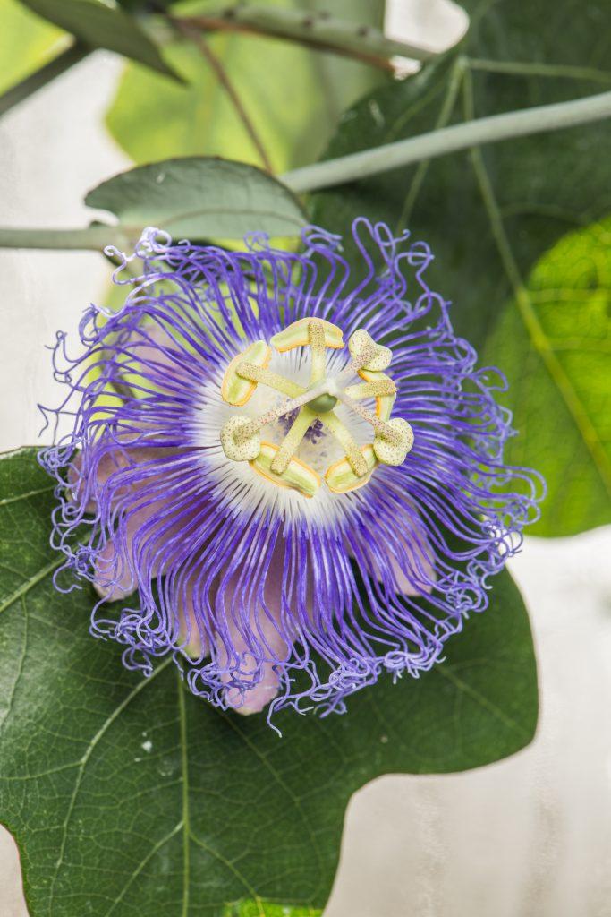 Passiflora garckei. Purple passionflower.