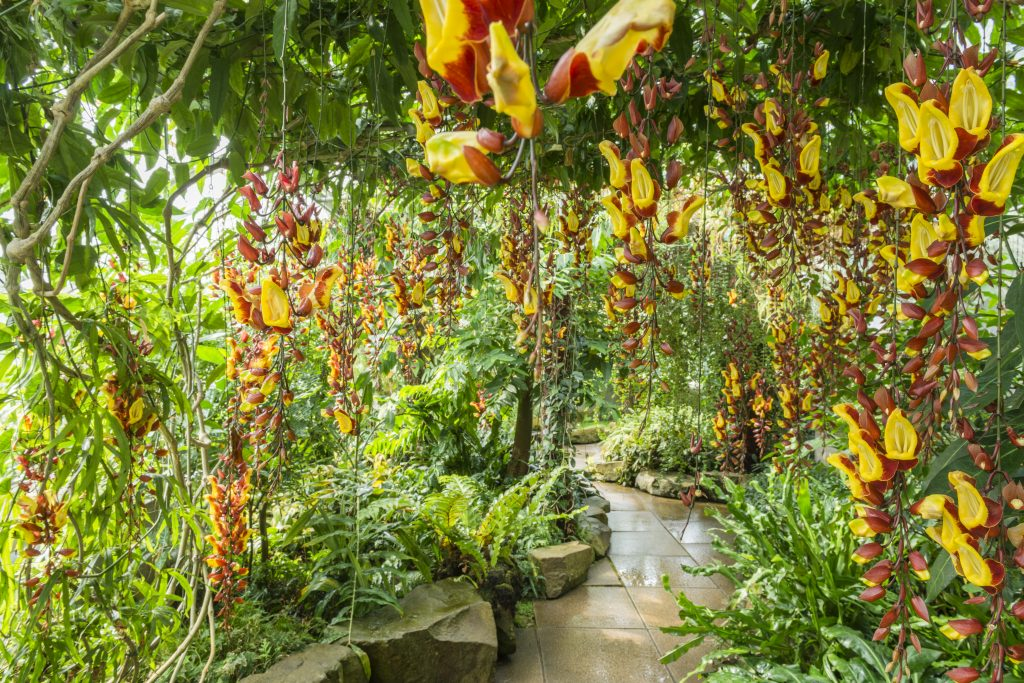 Thunbergia mysorensis are red and yellow flowers that hang on vines from the ceiling like a beaded curtain.
