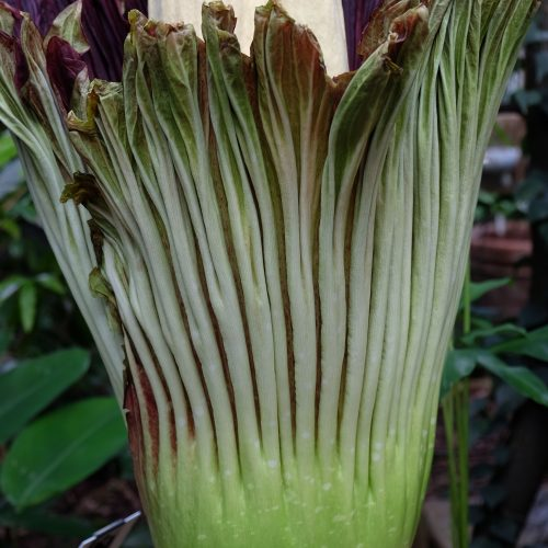 A short film about the flowering and pollination of Titus, the Titan Arum