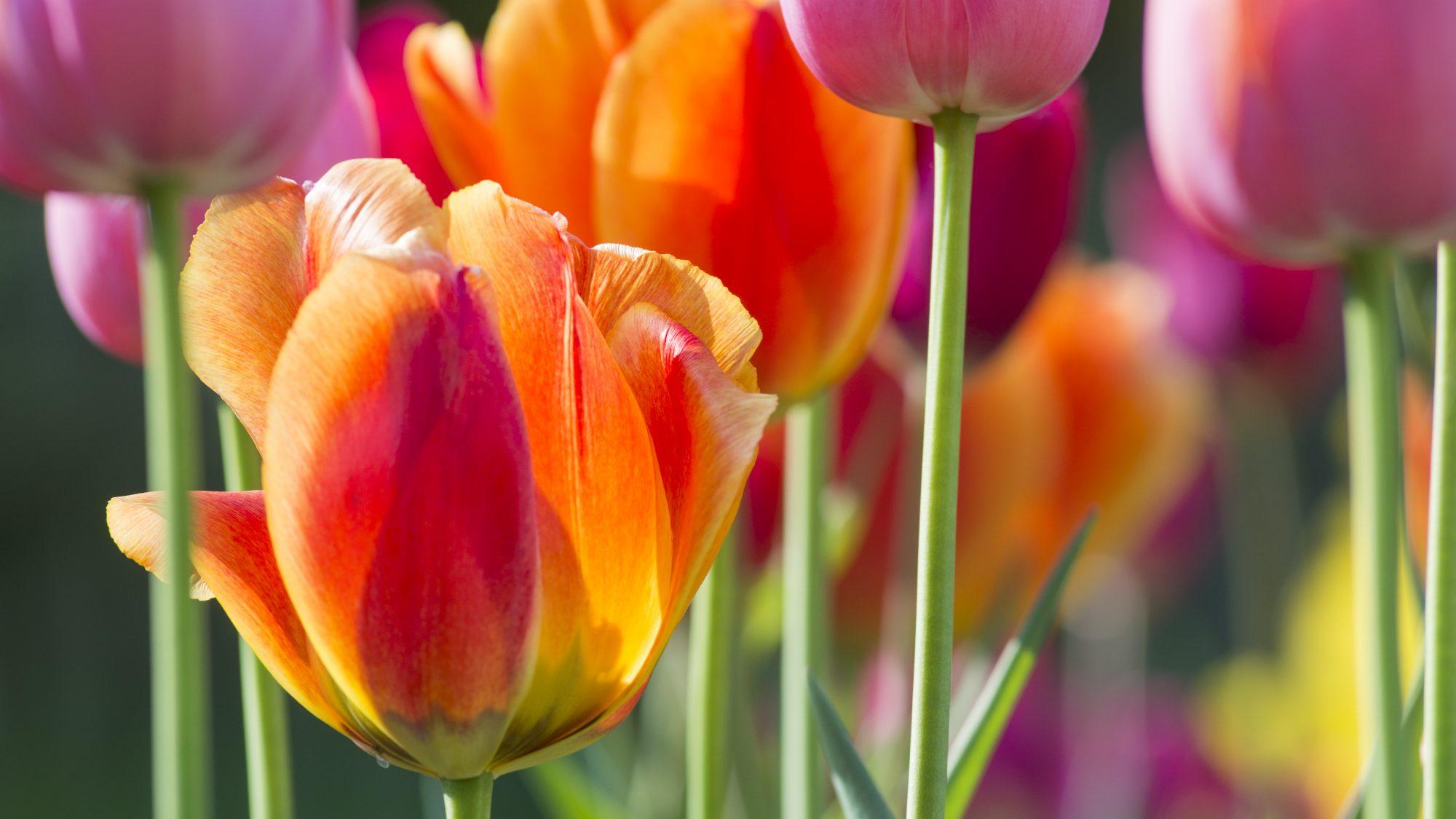 Tulipa, Liliaceae
