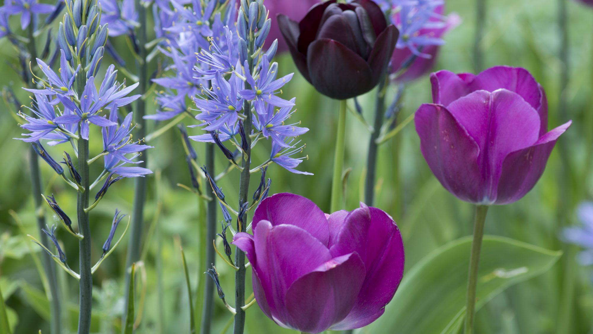 Camassia leichtlinii interplanted with tulips.