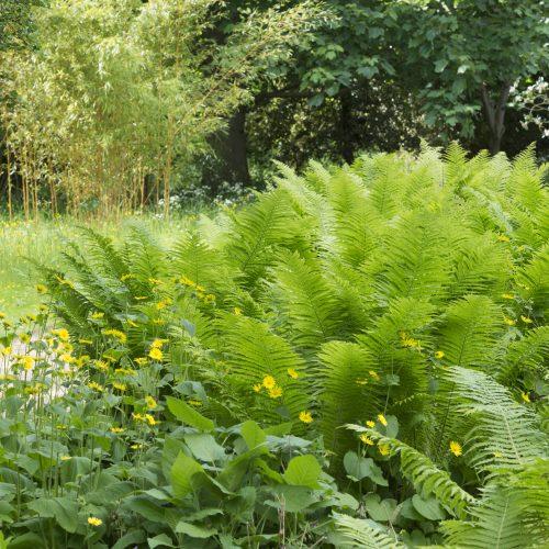 Botanic Garden's Ferns on show at Chelsea