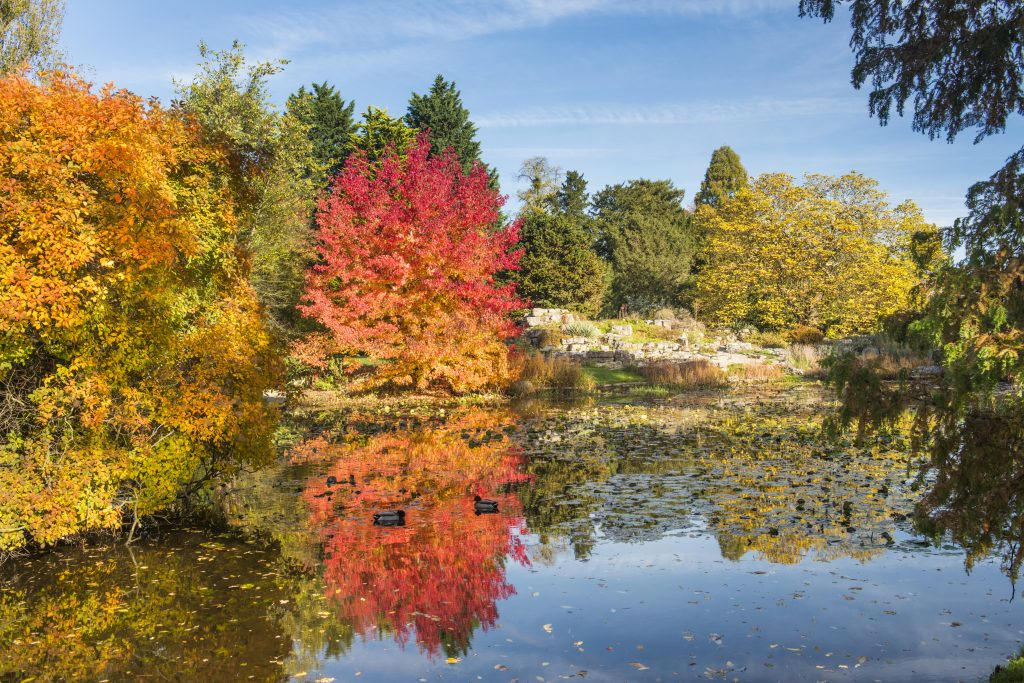 Liquidambar styraciflua 'Worplesdon'. A flame red tree on the lake.