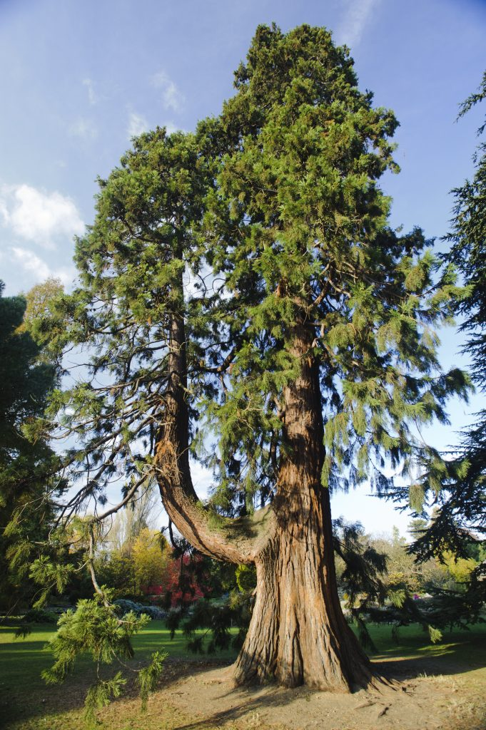 Sequoiadendron giganteum standing tall near the fountain.