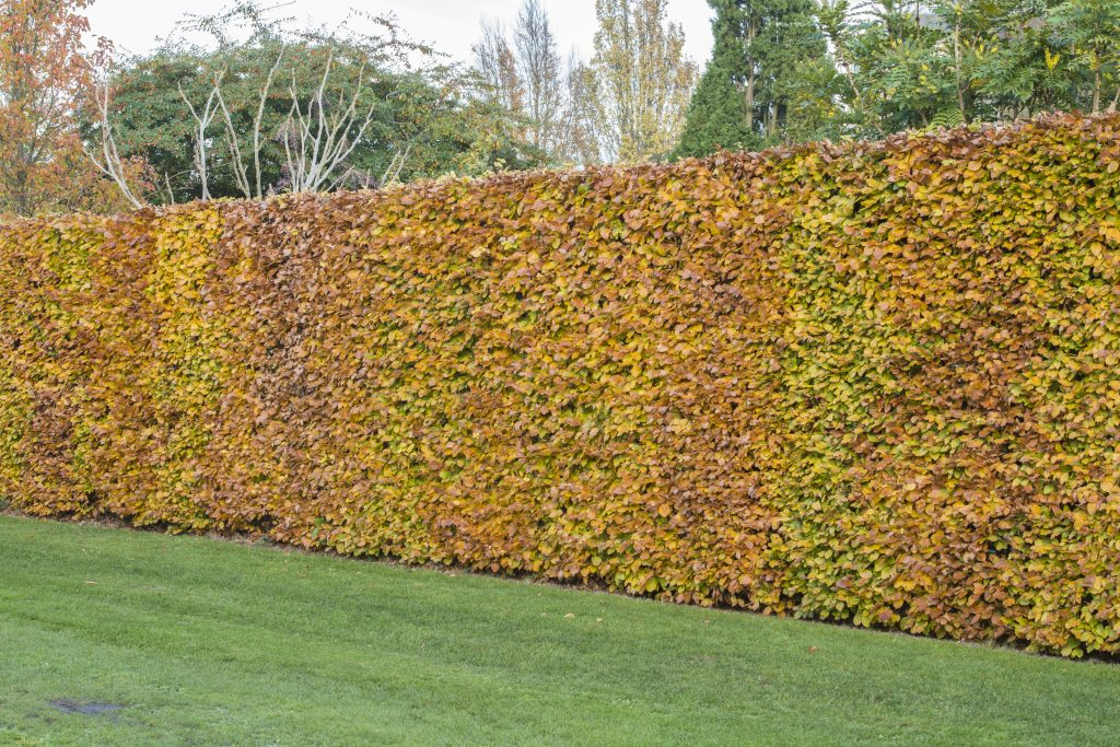 Fagus sylvatica hedge lining the Dry Garden.