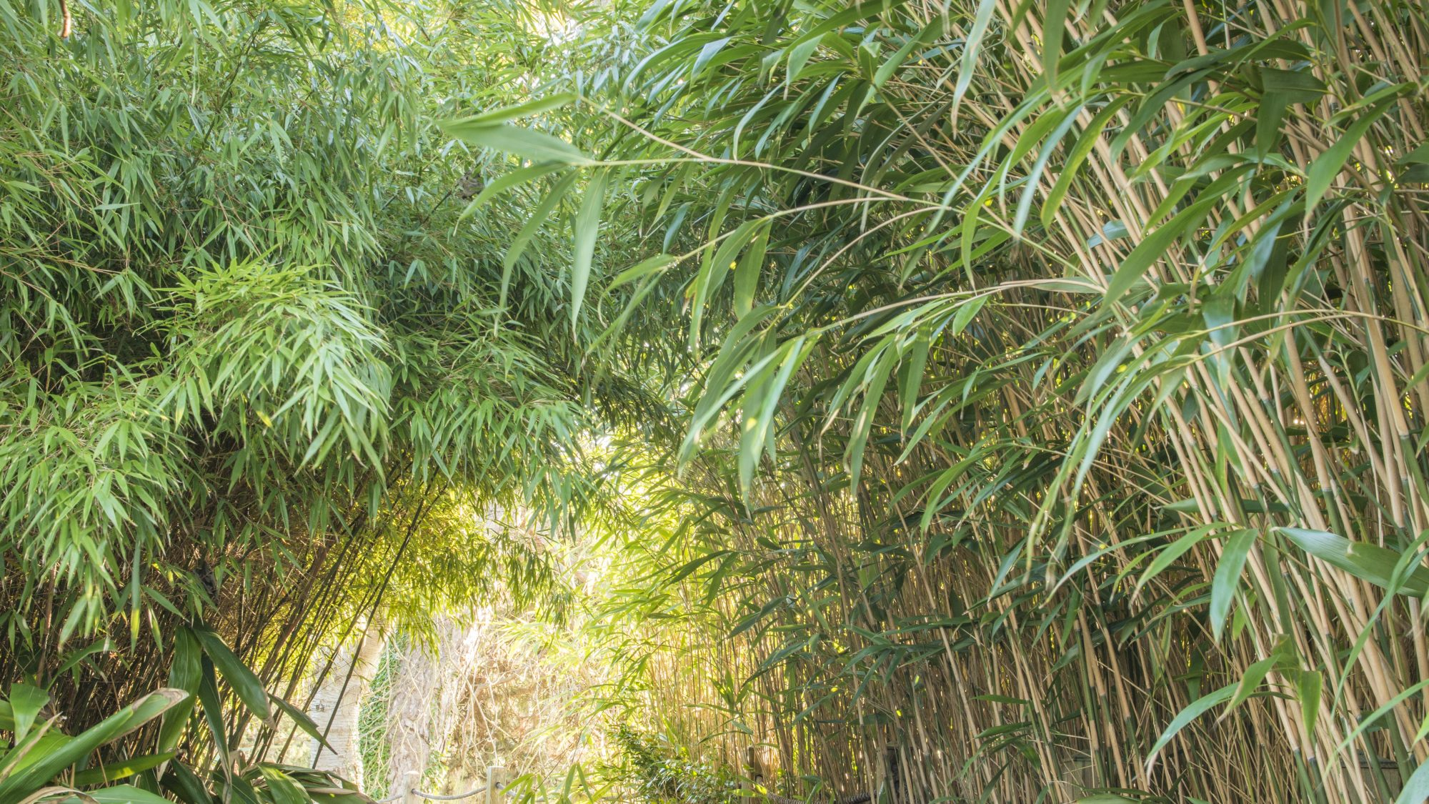 Bamboo in the Bog Garden.
