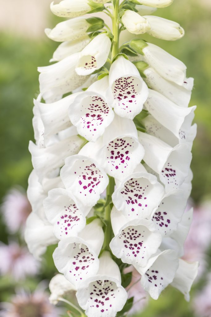 A white foxglove (Digitalis purpurea).
