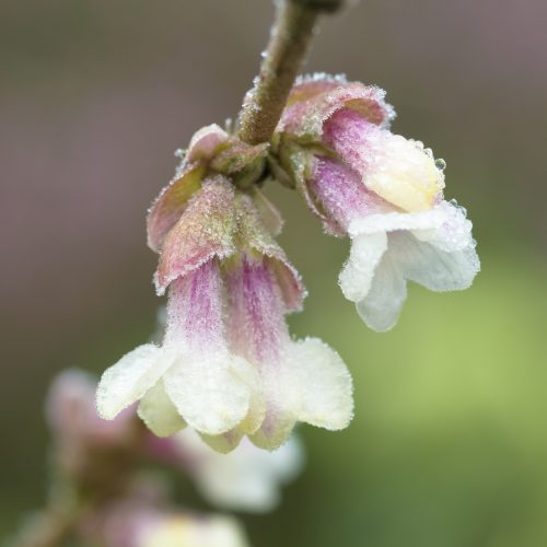 Lonicera (shrubby species and primary hybrids)