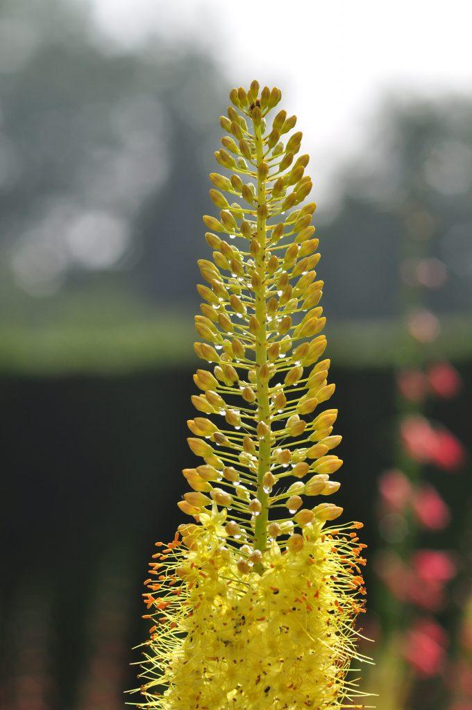 The yellow spike of Eremurus stenophyllus.