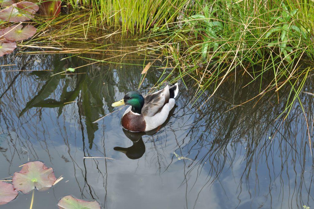 A mallard duck enjoying a swim in the Lake.
