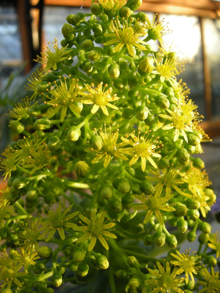 Aeonium lindleyi. Many small yellow flowers on a stem.