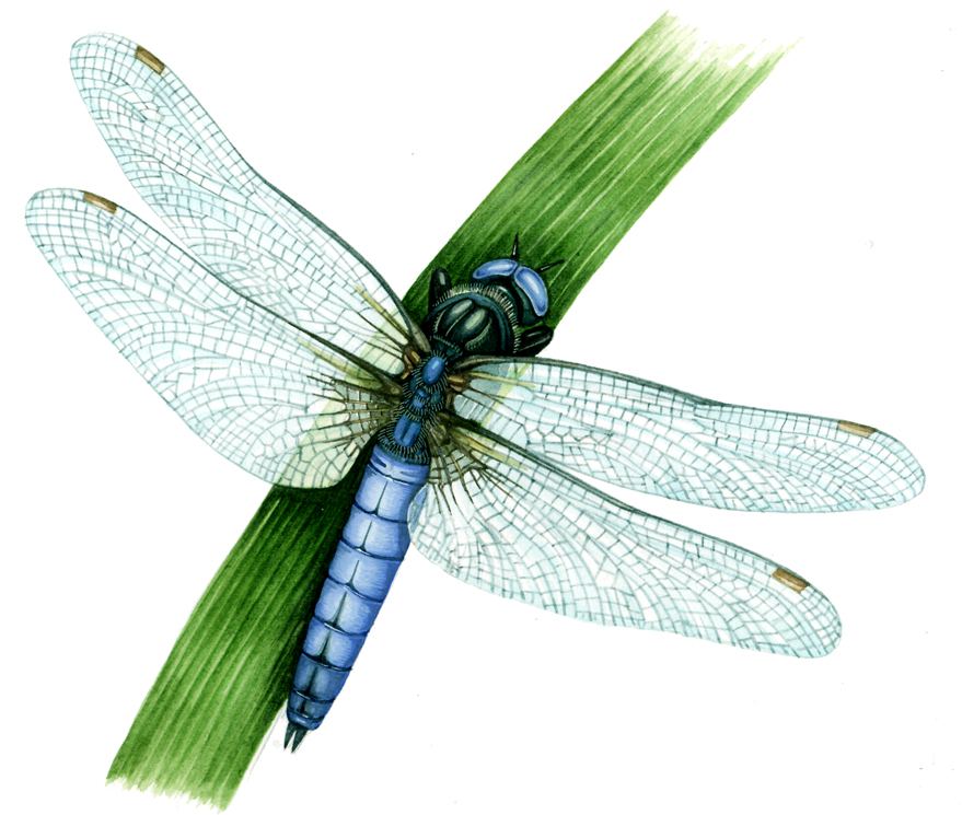 Dragonfly with clear wings and bright blue body on green stalk of grass