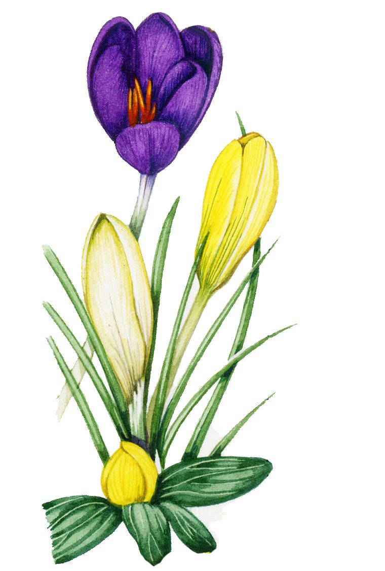 Purple and yellow crocus flowers with green leaves
